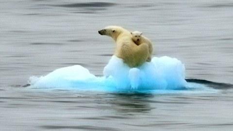 orsi polari iceberg